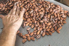 Hands sellect cocoa beans Stock Image