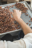 Hands sellect cocoa beans Royalty Free Stock Image