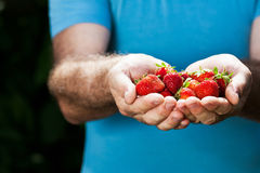 Hands of senior man with strawberry Royalty Free Stock Image
