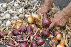 Hands of senior woman, harvesting ripe onion Royalty Free Stock Photo
