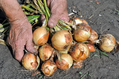Hands of senior woman, holding freshly harvested ripe onion Royalty Free Stock Photos