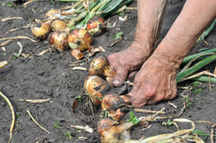 Hands of senior woman, holding freshly harvested ripe onion Stock Photo