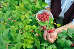 Hands of senior woman picking ripe raspberries Royalty Free Stock Photo