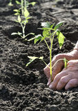 Hands of senior woman, planting a tomato seedling in the vegetab Stock Photo