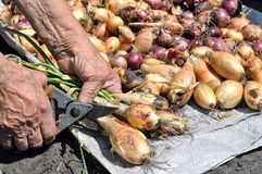 Hands of senior woman preparing freshly harvested ripe onion Royalty Free Stock Images