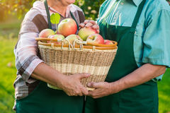 Hands of seniors, apple basket. Royalty Free Stock Photography
