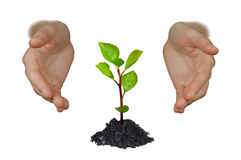 Hands shielding young tree. Hands protecting a young growing little tree isolated on white background Stock Photo
