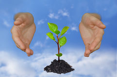Hands shielding young tree. Hands protecting a young growing little tree on bright blue sky Stock Images