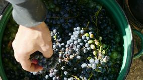 Fill the bucket with grapes. Hands shift a bunch of black grapes into a bucket stock footage