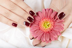 Hands with short manicured nails colored with dark purple nail polish. Holding pink Gerbera flower Royalty Free Stock Images