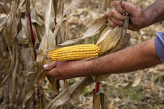 Hands showing beautiful corn maize ear. At harvest time Royalty Free Stock Image