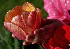 Hands of small girl holding yellow-purple motley tulip flower. Royalty Free Stock Photos