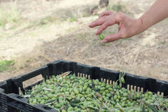 Hands sorting out ripe olives. At harvest royalty free stock photography