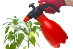 Hands with sprayer and pepper seedling Stock Image