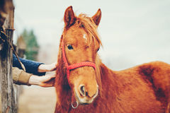 Hands stroking a beautiful horse Stock Photography