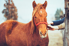 Hands stroking a beautiful horse Royalty Free Stock Images