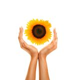 Hands with sunflower 2 Royalty Free Stock Photo