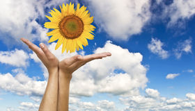 Hands with a sunflower Royalty Free Stock Image