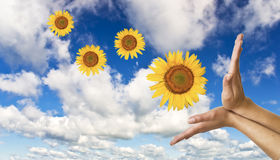 Hands with a sunflower on background Stock Images