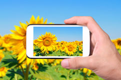 Hands taking photo sunflower with smartphone. Royalty Free Stock Photography
