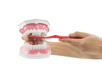 Hands teach Model of jaws and a toothbrush Stock Images