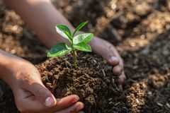 Seedlings on fertile soil.Natural care concepts and world preservation, global warming reduction. World Environment Day. The hands of a teenage boy who is taking stock photography