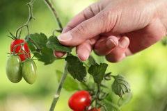Hands touch plant of cherry tomatoes control quality and cure. Hands touch plant of cherry tomatoes control quality and  cure the vegetable garden Royalty Free Stock Photo