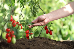 Hands touch plants of cherry tomatoes control quality and cure. Hands touch plants of cherry tomatoes control quality and  cure the vegetable garden Stock Image