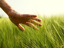 Hands touching grain Royalty Free Stock Photo