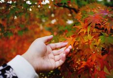 Hands touching red leaves in Japan Stock Image