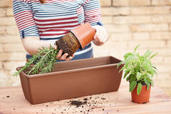 Hands transplanting rosemary to pot Royalty Free Stock Images