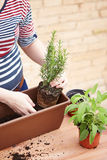 Hands transplanting rosemary to pot Stock Image
