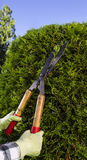Hands Trimming the Hedges with Large Cutting Shears Stock Photos