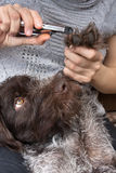 Hands trimming toenails of dog with clippers, closeup Stock Photography