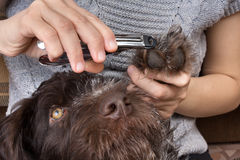 Hands trimming toenails of dog with clippers Stock Photos