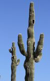 USA, Arizona: Saguaro cacti: >Hands up! Royalty Free Stock Photography