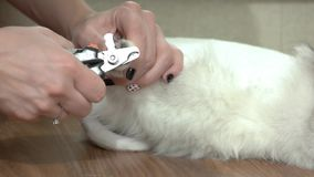 Hands using cat nail clippers. stock footage