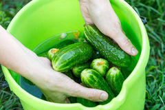 Hands wash fresh cucumbers Royalty Free Stock Images