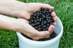 Hands washed with black currant Stock Photos