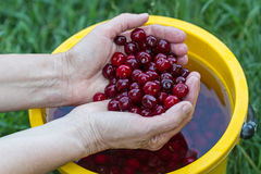 Hands washed cherries Royalty Free Stock Images