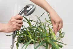 Hands washing aloe plant Stock Images