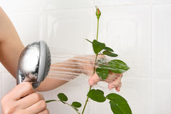 Hands washing rose in the bathrooom Stock Photos