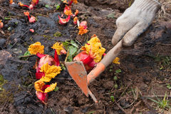 Hands weeding garden bed with rhubarb. In the vegetable garden, closeup Stock Photo