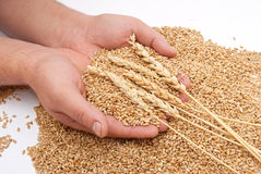 The hands and wheat Stock Images