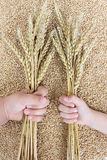 Hands and wheat Royalty Free Stock Photography