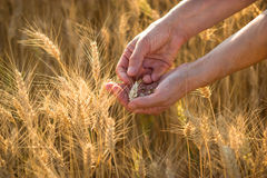 Hands in wheat Stock Images
