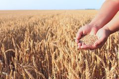 Hands in the wheat field Royalty Free Stock Photos