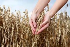 Hands in wheat field Stock Photography