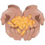 Hands with wheat grains in them on white background Stock Images