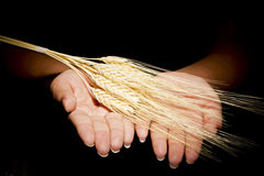 Hands with wheat Stock Image